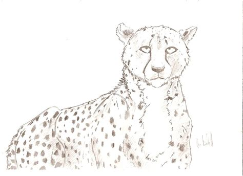 sketchbook cheetah cheetah sketch 8 by shalaschaska on deviantart