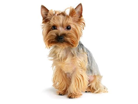 yorkie mutt 45 adorable terrier images and pics golfian