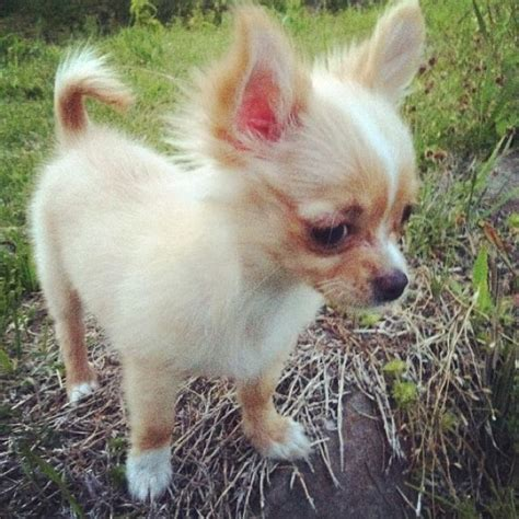 25 best ideas about chihuahua puppies on