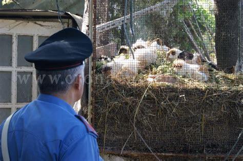 animali in gabbia pozzuoli scoperto allevamento abusivo centinaia di