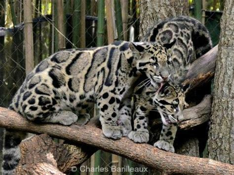 Clouded Leopard   International Society for Endangered