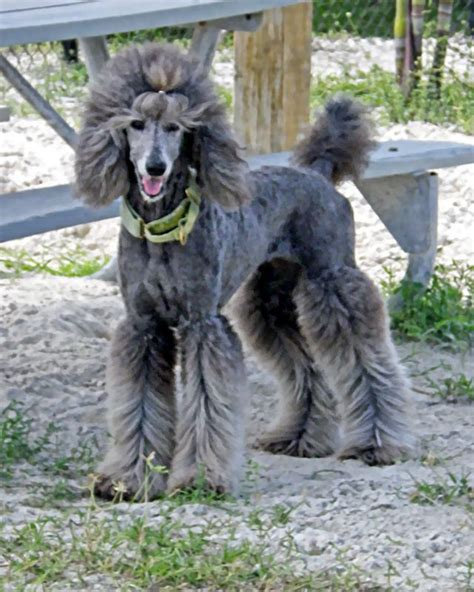 standard poodle face hair cuts 914 best images about standard poodles on pinterest
