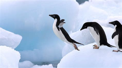 penguin hd wallpapers free download penguin pictures