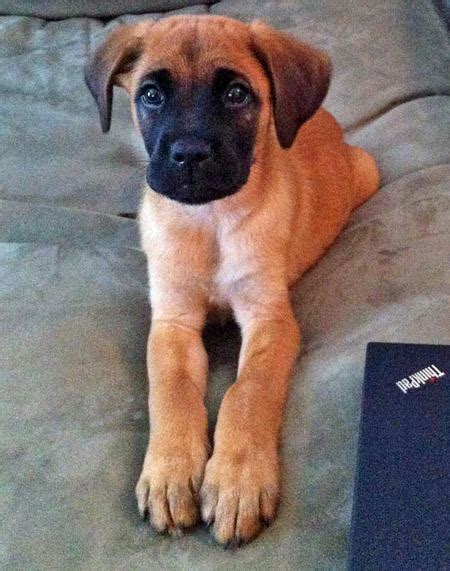 boxer shepherd mix puppy gus the boxer mix puppies daily puppy