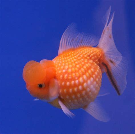 Or Adalah Ini Bui Jika Wanita Adalah Seekor Ikan