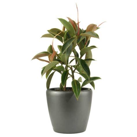 rubber fig ficus rubber plantscape interiors