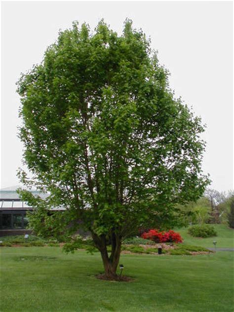 missouri maple trees myabei maple