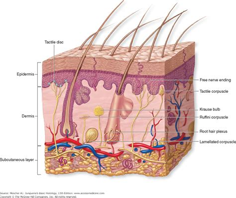 diagram of the skin skin structure diagram to label organ anatomy