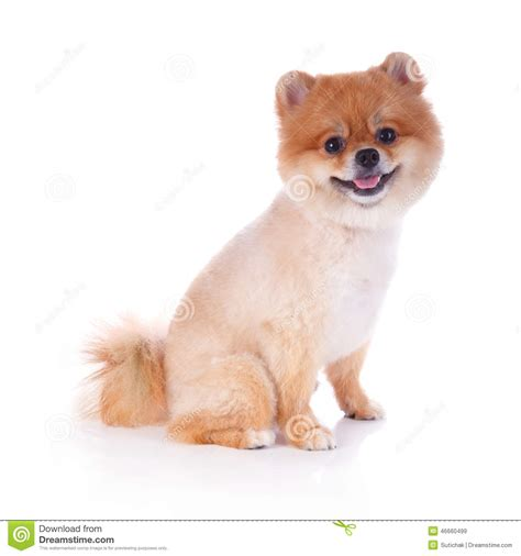 pomeranian puppies with hair pomeranian brown hair stock photo image 46660499