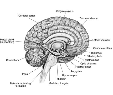 section of the brain brain cross section functions