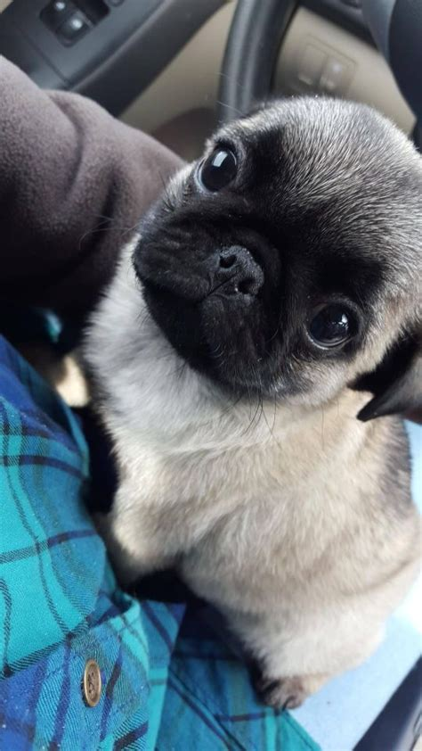 buy a pug puppy 25 best ideas about pug puppies on pug puppies pugs and baby pugs