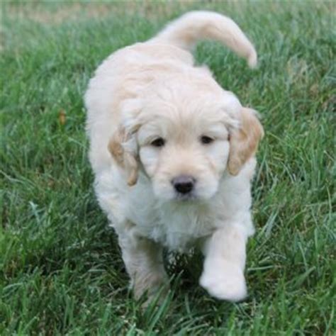 doodle puppy reviews doodle puppies for sale greenfield puppies