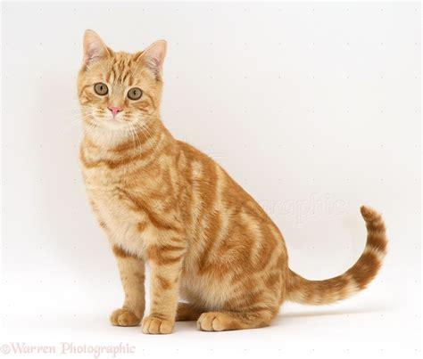 Ginger cat photo WP36559