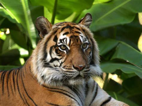 animal  wallpapers animal tiger  wallpapers