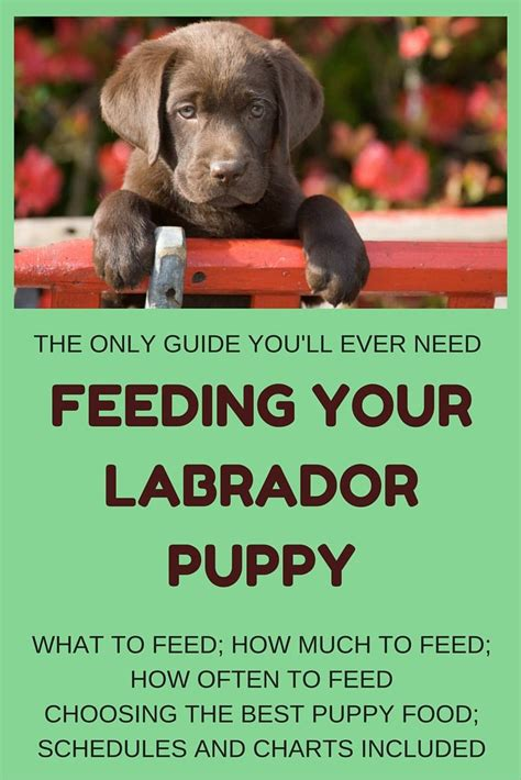 golden retriever puppy feeding guide 25 best ideas about labrador puppies on chocolate labrador
