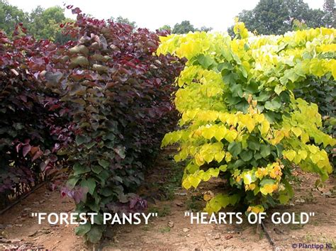cercis canadensis hearts of gold 174 havlis cz