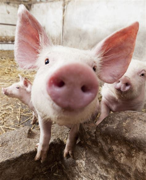 imagenes animales granja 10 selfies de animales de granja hogarmania