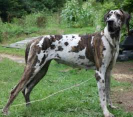Search Great Dane Puppies For Sale In Michigan » Home Design 2017