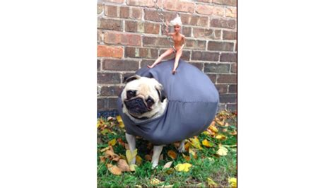 wrecking pug costume a pug dressed as a wrecking might win 25 000 in costume contest