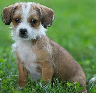 chi shih tzu learn about the shih tzu chihuahua mix aka shichi chi tzu soft and fluffy