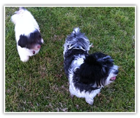 shih tzu for sale in mcallen tx non shedding breeds happy healthy puppy breeds picture