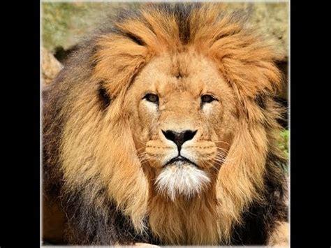 imagenes de leones bravos sonido del leon rugido sonidos cortos de animales youtube