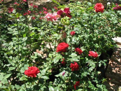 un jardin de rosas rojas tendencias ornamentos cultivamos tus ideas