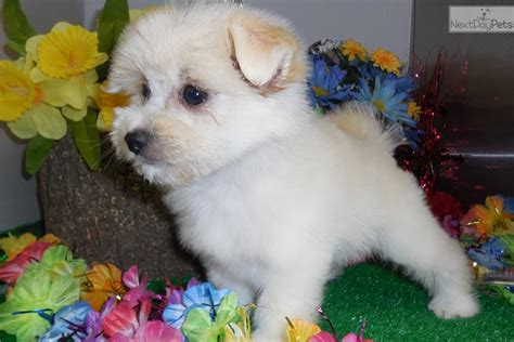 pomeranian puppies illinois pomeranian puppy for sale near chicago illinois 4f69dc94 72e1