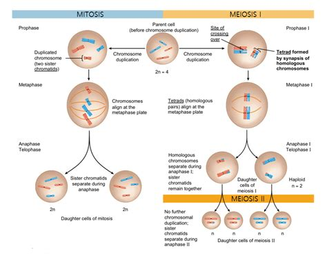 groundhog day xmovies8 stages of meiosis diagram 28 images biology pictures