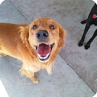 san diego golden retriever golden retriever for adoption in san diego california scout