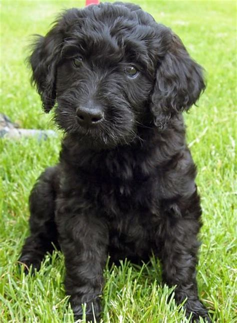 best recomendatuons for haircuts for goldendoodles best 25 goldendoodle black ideas on pinterest puppy