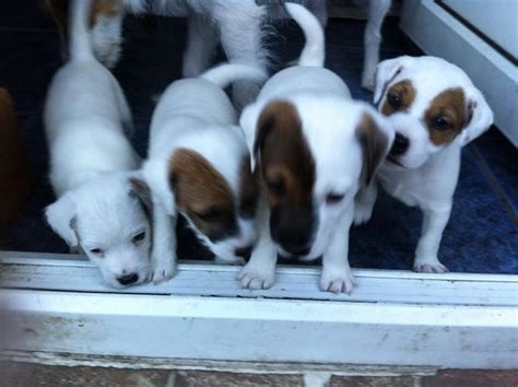 parson terrier puppies for sale k9 academy penrith parson terriers for sale uk stop aggressive