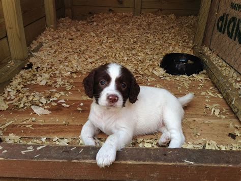 spaniel puppies for sale 2 springer spaniel puppies for sale wincanton somerset pets4homes