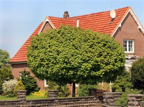 harlekinweide wann schneiden kugelahorn kugelbaum globosum acer platanoides