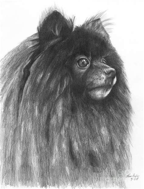 pomeranian drawing pomeranian drawing by lena auxier