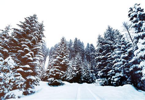 Pohon Natal Berkualitas Tipe Snow White Pine Tree Ukuran 9ft 2 7 Mtr free photo snow pine trees winter free image on pixabay 1209987