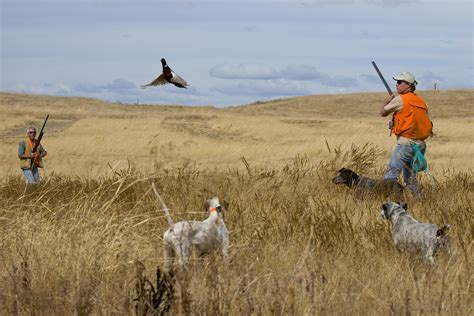 how to a to pheasant hunt pheasant www imgkid the image kid has it