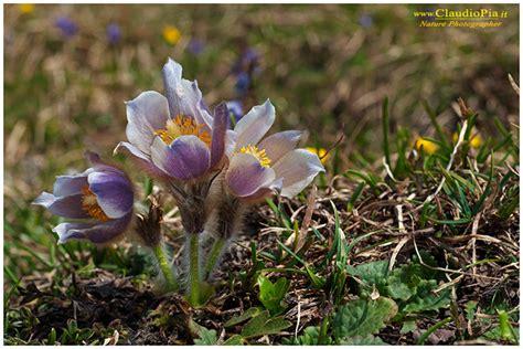 fiori di montagna primaverili fiori di montagna flowers altitude flores de altitud
