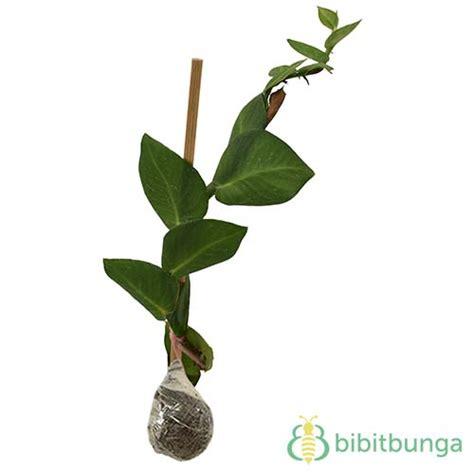 Pohon Dolar Rambat Daun Besar tanaman dolar rambat climbing dollar bibitbunga