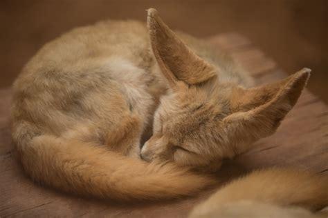 fennec fox  stock photo public domain pictures