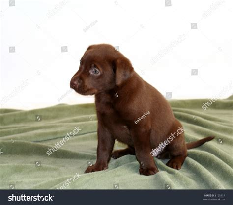 5 week lab puppy 5 week lab puppy on green blanket stock photo 8125114