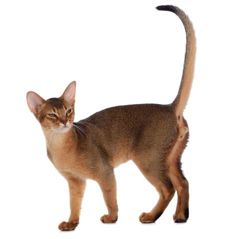 cats breeders abyssinian breeders australia abyssinian info kittens