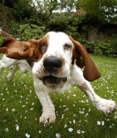 Funny basset hound basset hound medium breeds dog breeds index