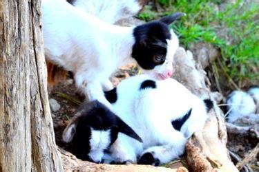 alimentazione tibetana capra tibetana pecore e capre caratteristiche della