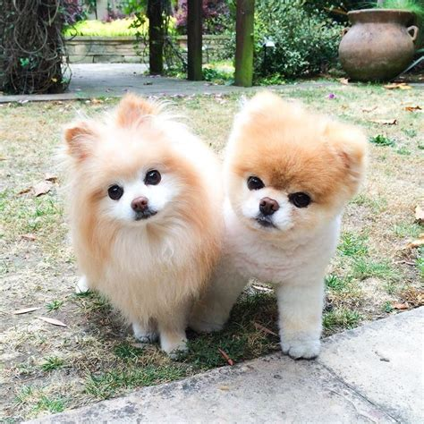 buddy pomeranian 396 best images about boo jiff norman on puppys and world