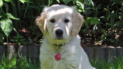 10 week golden retriever golden retriever puppy 10 weeks tess troline 2014 the
