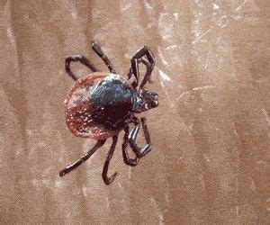 how to get rid of ticks in backyard ticks yards and diy and crafts on pinterest