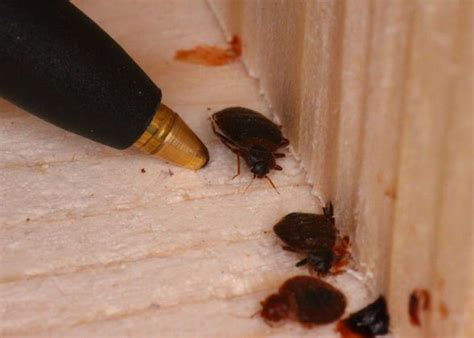 bed bug exterminator nj bed bugs are good hitchhikers call truly nolen ocean