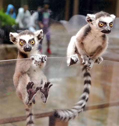 baby lemur ring tailed lemur babies floridapfe s flickr awesome