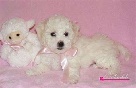 bolognese for sale bolognese puppy for sale bellissibolo kennel